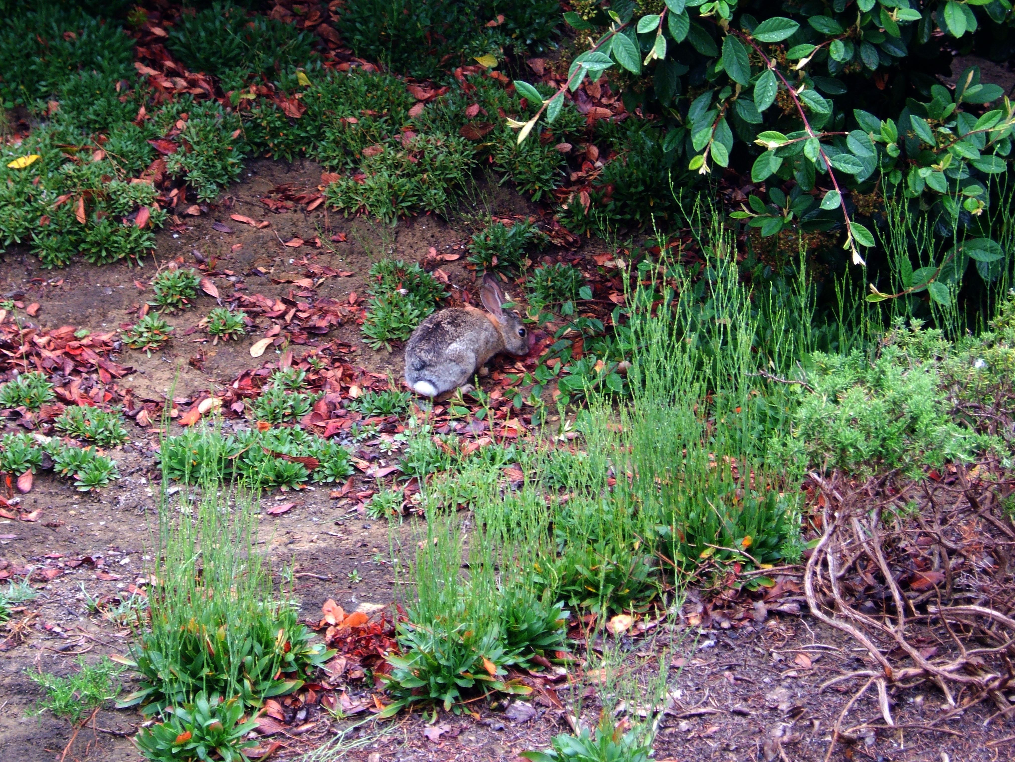 Rabbit Chino Hills California 01