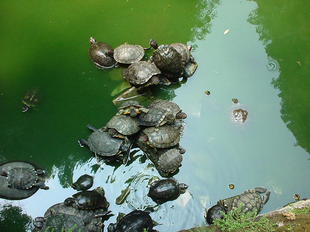 Turtle Malaysia Ipoh Cave Monastery 03