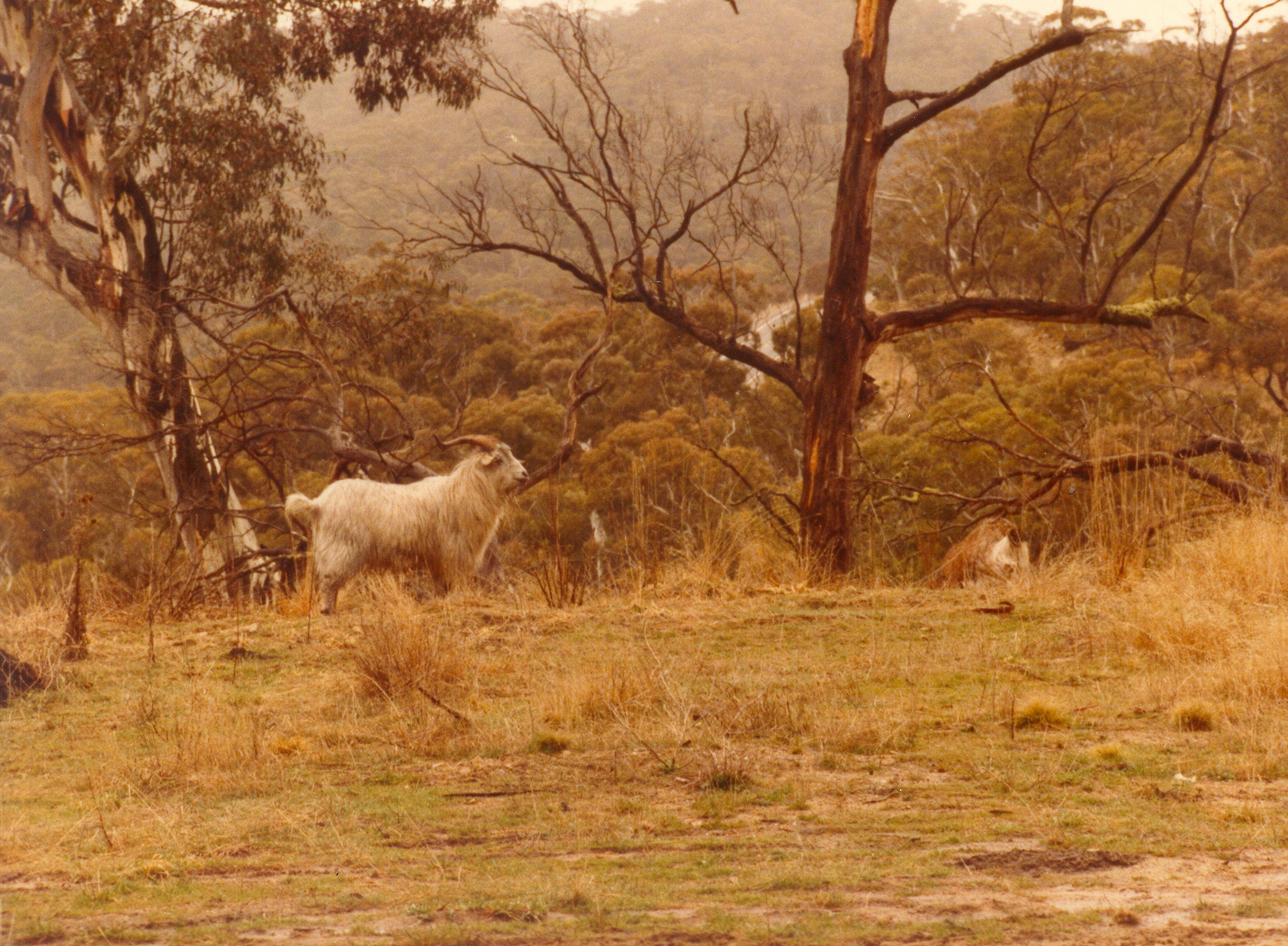 Wild Goat Australia NSW 01