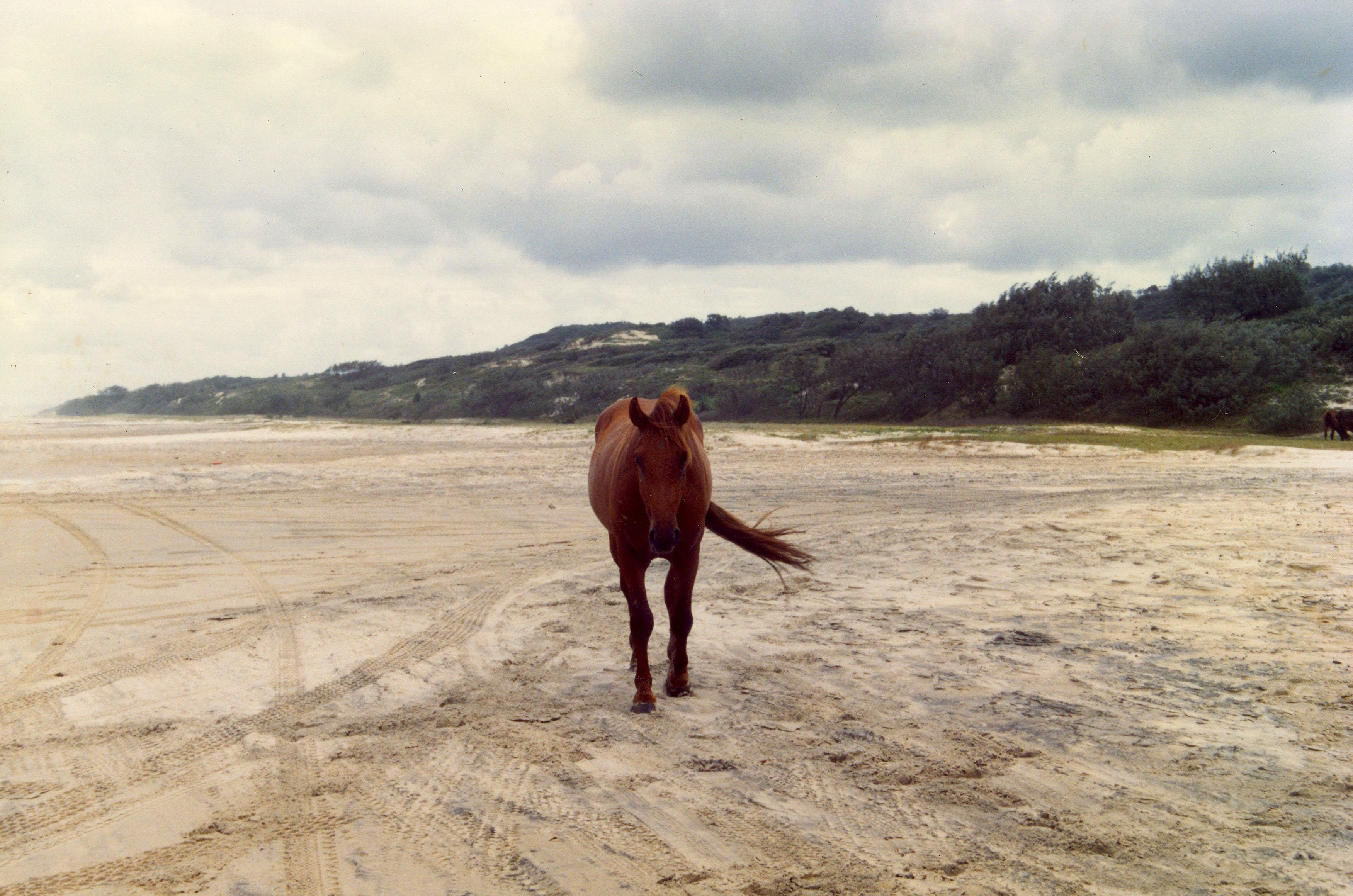 Wild Horses Australia Frazer Island 01
