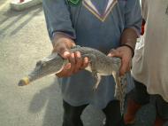 Asisbiz Crocodile PNG Port Moresby 01
