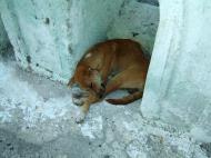 Asisbiz Dog Myanmar Mingun 01