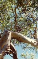 Asisbiz Koala Australia Frazer Island 01