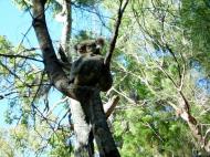 Asisbiz Koala Australia Noosa National Park 01