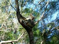 Asisbiz Koala Australia Noosa National Park 02