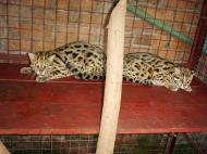 Asisbiz Myanmar Yangon Wild Cats 03