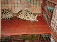 Asisbiz Myanmar Yangon Wild Cats 04