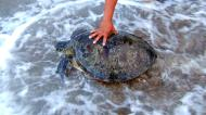 Asisbiz Sea Turtle Philippines Mindoro Tabinay Beach 01