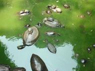 Asisbiz Turtle Malaysia Ipoh Cave Monastery 02
