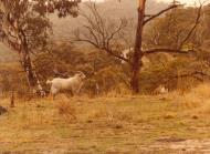Asisbiz Wild Goat Australia NSW 01