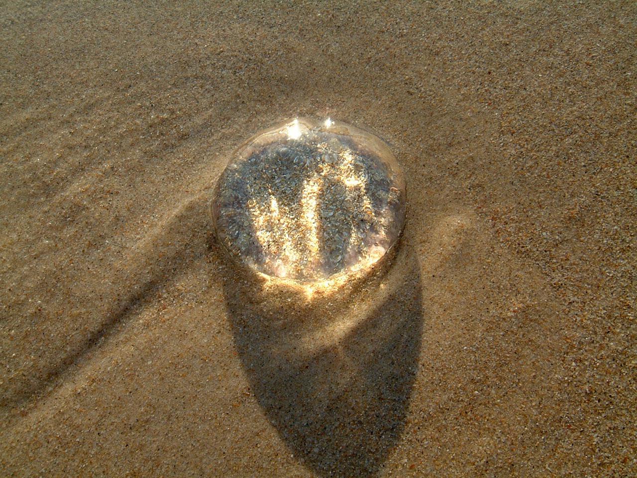 Textures Marcus Beach Life Clear Jellyfish 04