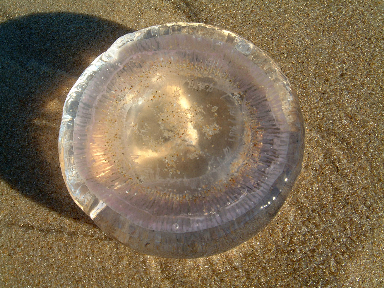 Textures Marcus Beach Life Clear Jellyfish 09