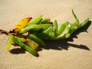 Asisbiz Textures Beach Life plant debris Noosa 01