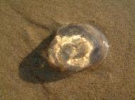 Asisbiz Textures Marcus Beach Life Clear Jellyfish 01