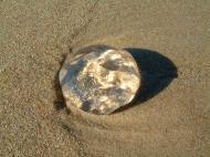 Asisbiz Textures Marcus Beach Life Clear Jellyfish 05