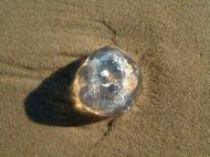 Asisbiz Textures Marcus Beach Life Clear Jellyfish 10