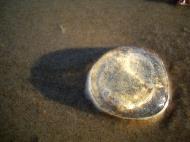 Asisbiz Textures Marcus Beach Life Clear Jellyfish 12