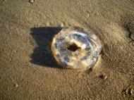Asisbiz Textures Marcus Beach Life Clear Jellyfish 13