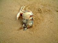 Asisbiz Textures Marcus Beach Life Crab 01
