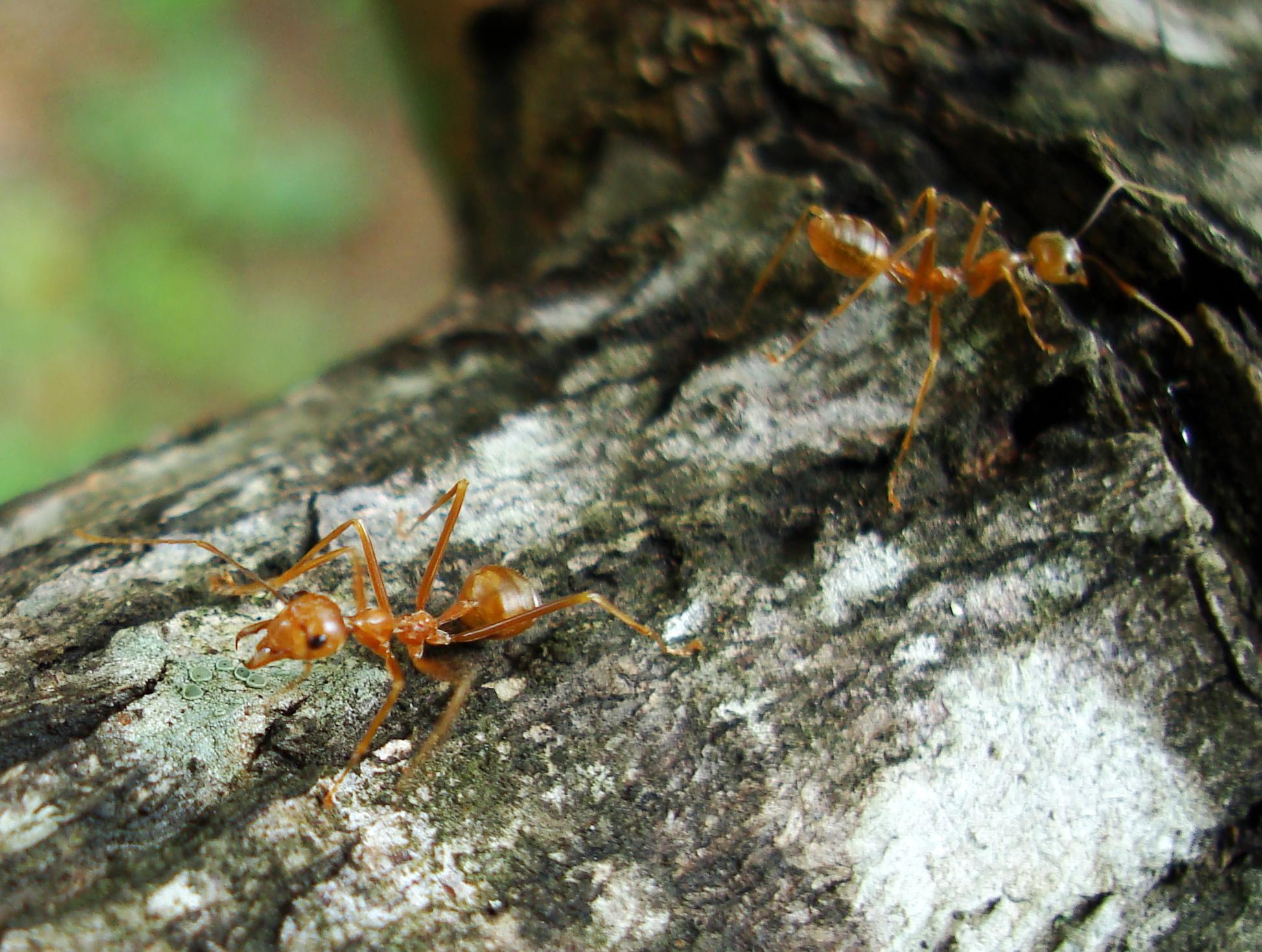 Ants Mango Ants Philippines 01