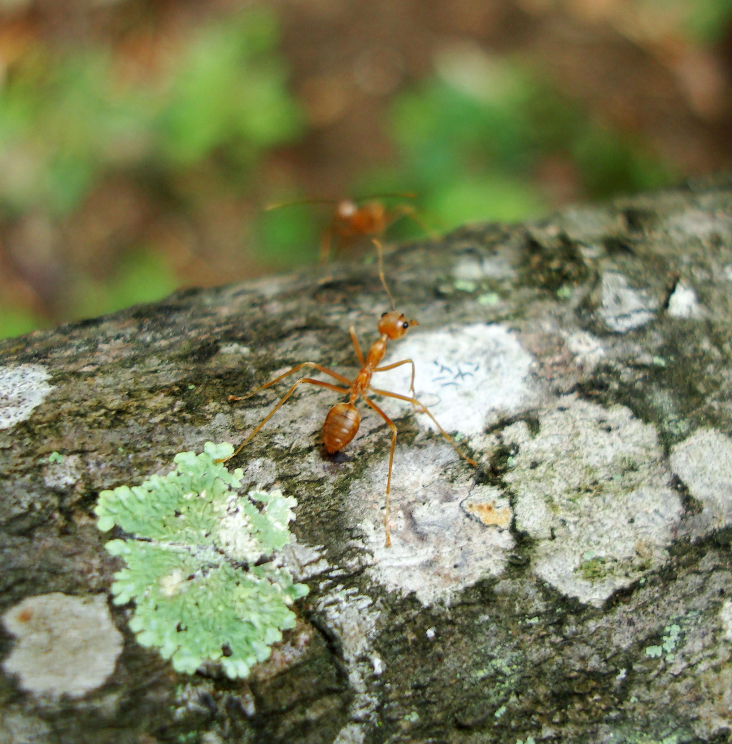 Ants Mango Ants Philippines 02