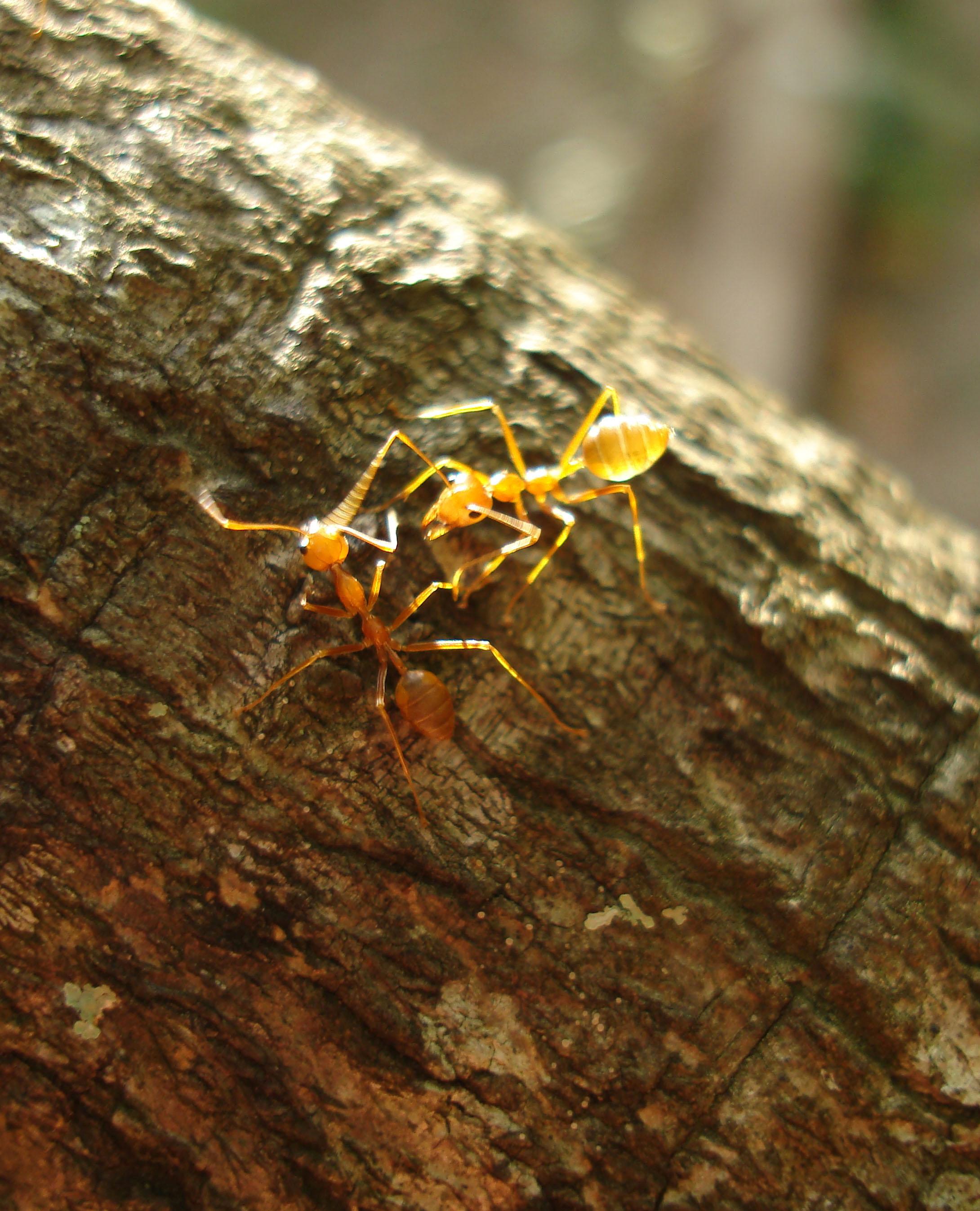 Ants Mango Ants Philippines 05