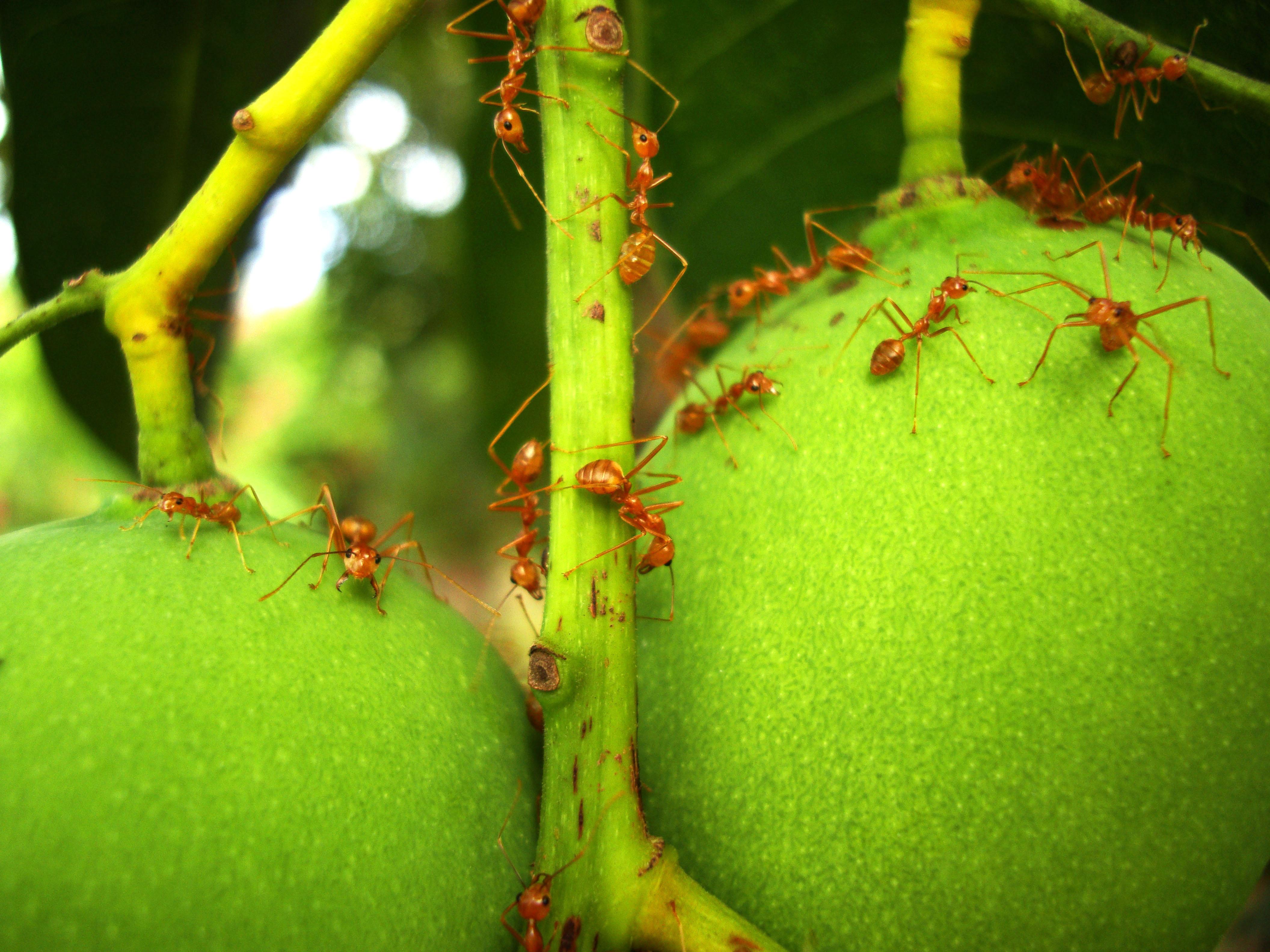 Ants Mango Ants Philippines 09