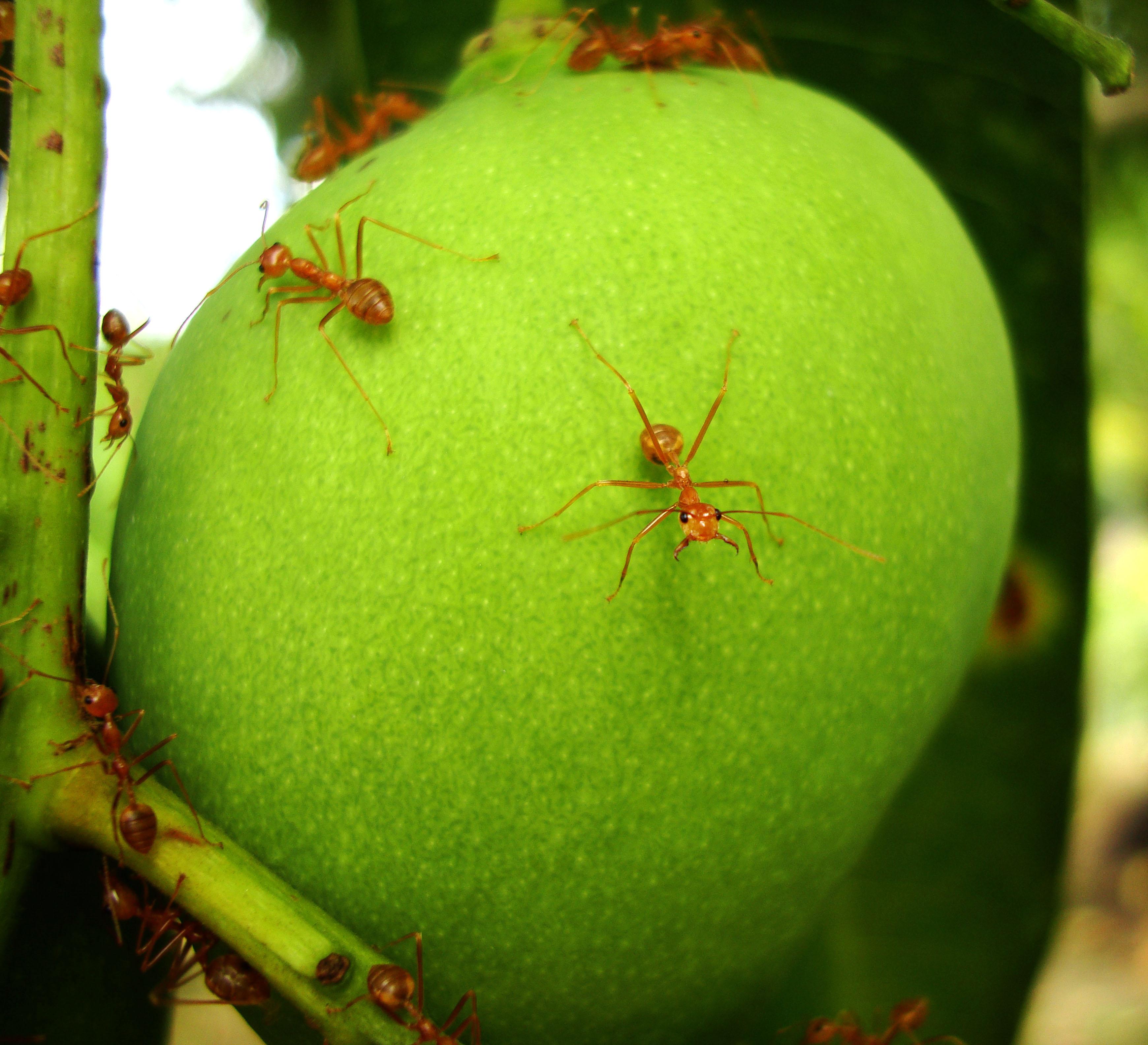 Ants Mango Ants Philippines 11