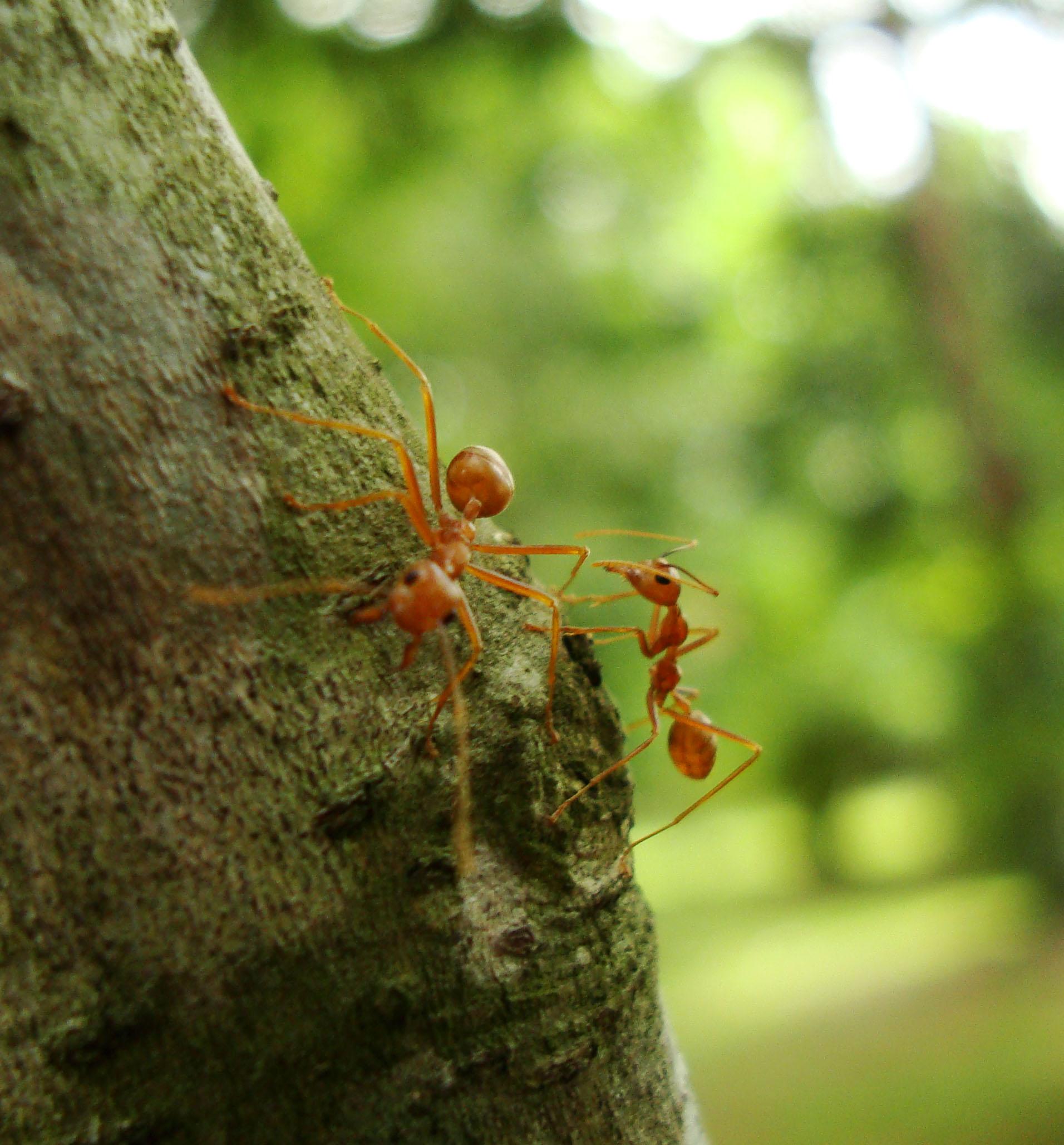 Ants Mango Ants Philippines 13