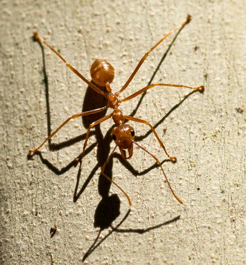 Golden Mango Ant Philippines 01