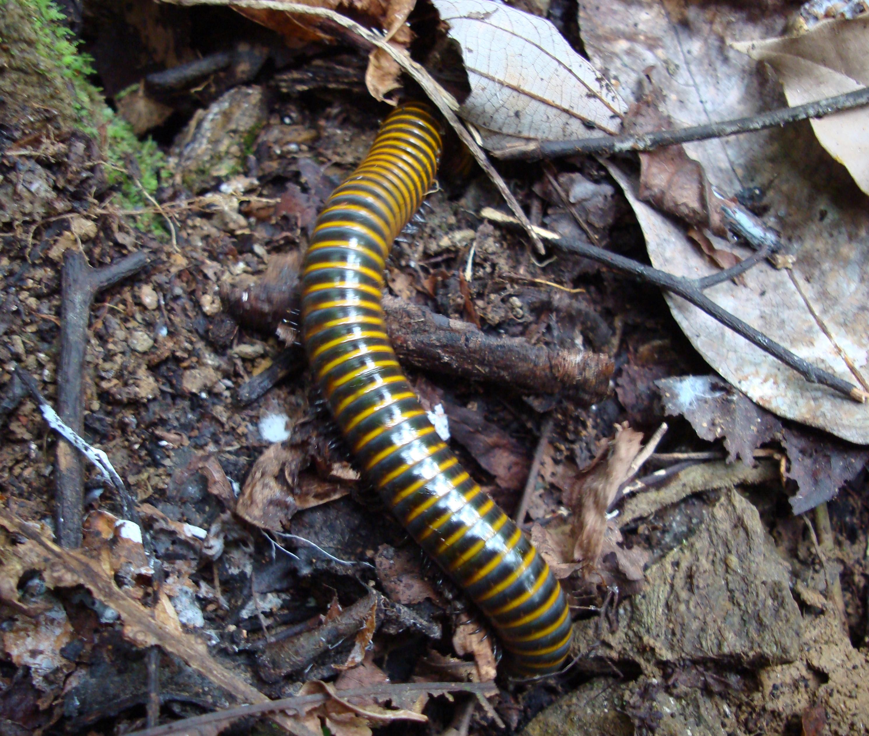 centipedes philippines 02