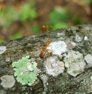 Asisbiz Ants Mango Ants Philippines 02