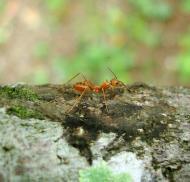Asisbiz Ants Mango Ants Philippines 03