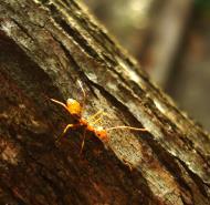 Asisbiz Ants Mango Ants Philippines 04