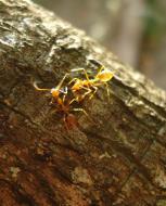 Asisbiz Ants Mango Ants Philippines 05
