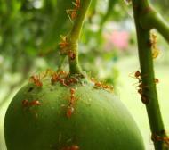 Asisbiz Ants Mango Ants Philippines 07