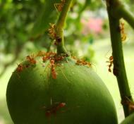 Asisbiz Ants Mango Ants Philippines 08
