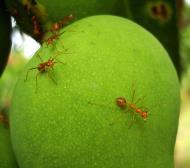 Asisbiz Ants Mango Ants Philippines 10