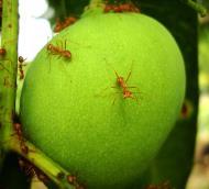 Asisbiz Ants Mango Ants Philippines 11