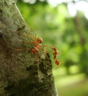 Asisbiz Ants Mango Ants Philippines 13