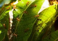 Asisbiz Golden Mango Ant Philippines 02