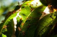 Asisbiz Golden Mango Ant Philippines 04