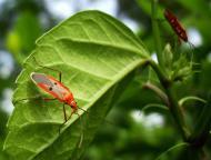 Asisbiz Unidentified Red Garden Bug Mindoro Oriental Philippines Oct 2010 01