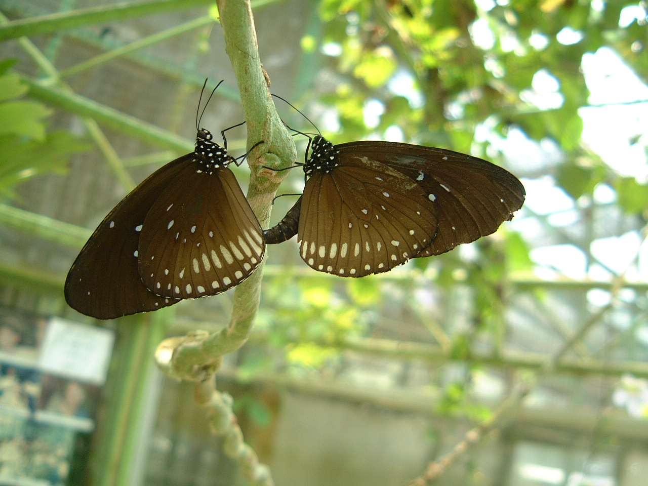 Butterfly Malaysia Penang Butterfly Park 25