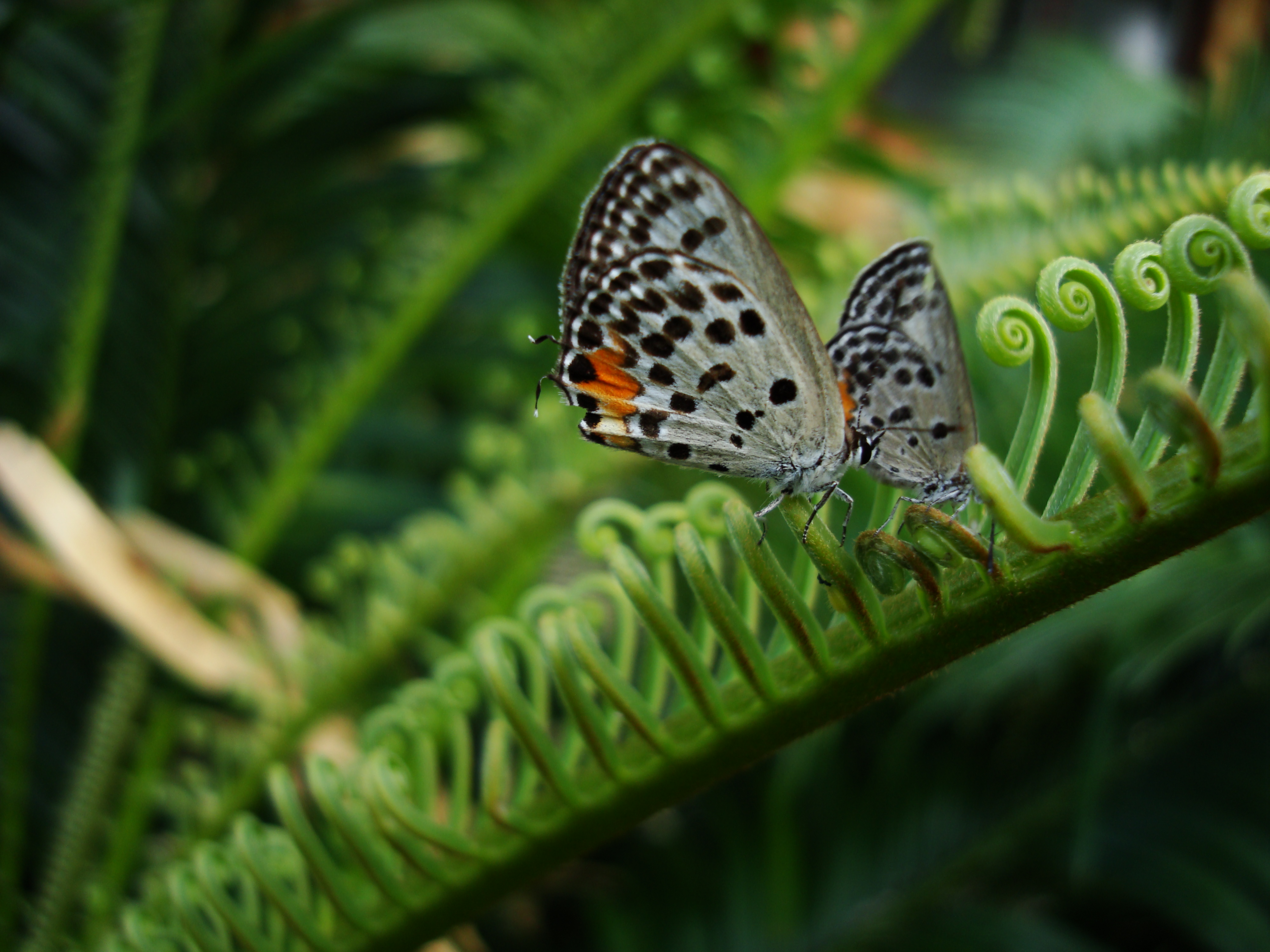 Philippines Mindoro Tabinay Red Pierrot butterfly Talicada nyseus 01
