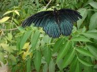 Asisbiz Butterfly Malaysia Cameron Highland Butterfly Park 01