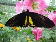 Asisbiz Butterfly Malaysia Cameron Highland Butterfly Park 03