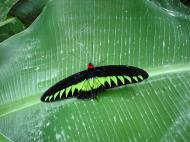 Asisbiz Butterfly Malaysia Cameron Highland Butterfly Park 04