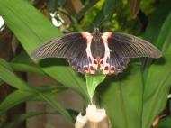 Asisbiz Butterfly Philippines 04