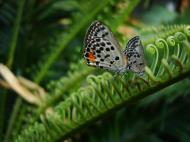 Asisbiz Philippines Mindoro Tabinay Red Pierrot butterfly Talicada nyseus 01